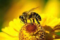 Пчелиный подмор: применение при лечении заболеваний