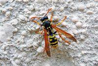 Чем опасен укус осы
