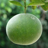 Польза фрукта помело при лечении заболеваний